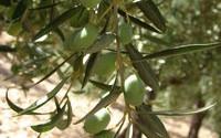 Annata agraria olivicola disastrosa, la CIA raccoglie le segnalazioni