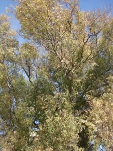 Rami di Eucalyptus